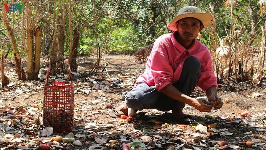 Chuyện nông dân cầm cố vườn điều vẫn 'nóng' ở Bình Phước