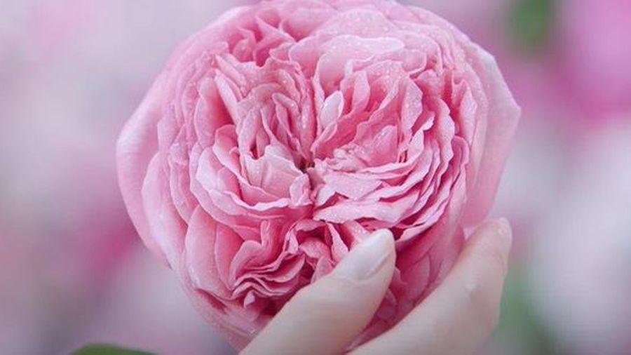 Xu hướng làm đẹp da từ thiên nhiên cùng hoa hồng Hokkaido - Báo Tổ ...