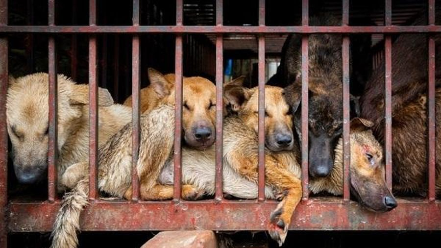 Liên minh bảo vệ chó châu Á đề nghị Việt Nam cấm giết mổ và tiêu thụ thịt chó, mèo