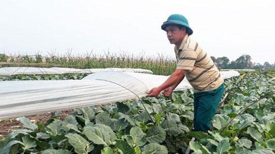 Hà Nội: Hiệu quả cao từ trồng su hào trái vụ