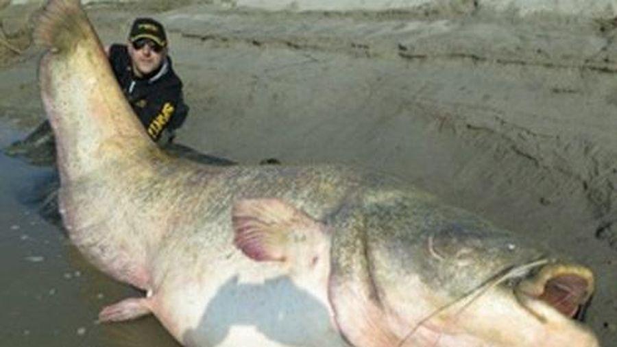 Vật lộn với những chú cá khổng lồ có 'một không hai' trên thế giới