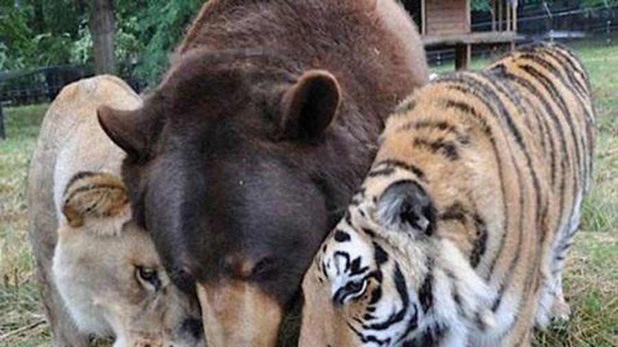 Gấu, sư tử và hổ thân thiết với nhau sau quá khứ đau buồn