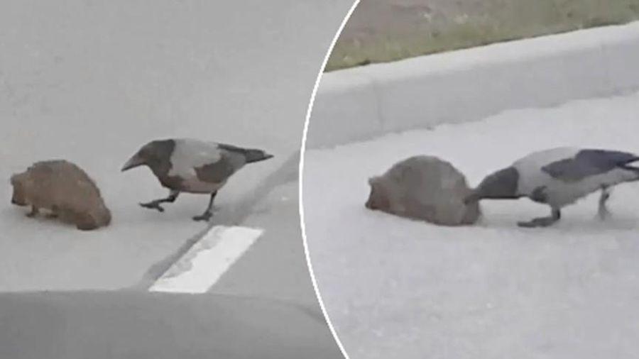 3 triệu lượt xem chỉ sau 48h: Video quạ giúp nhím qua đường sẽ khiến bạn mỉm cười!