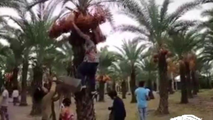 CLIP: Bức xúc việc nữ du khách leo cây chà là rung cho trái rớt