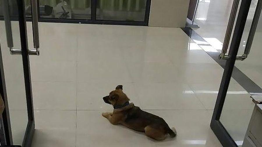Chú chó chờ đợi suốt 3 tháng tại bệnh viện sau khi người chủ qua đời