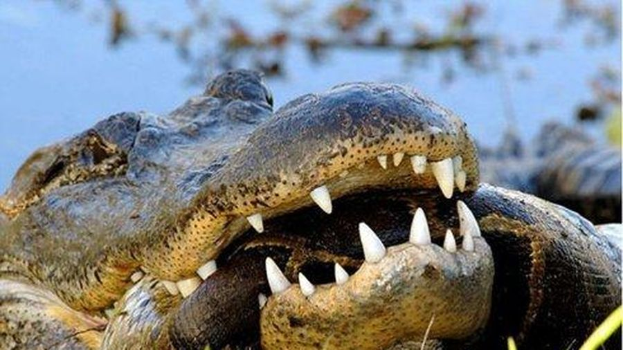 Cá sấu ngáo ngơ lặn xuống đầm sâu xẻ thịt trăn khổng lồ