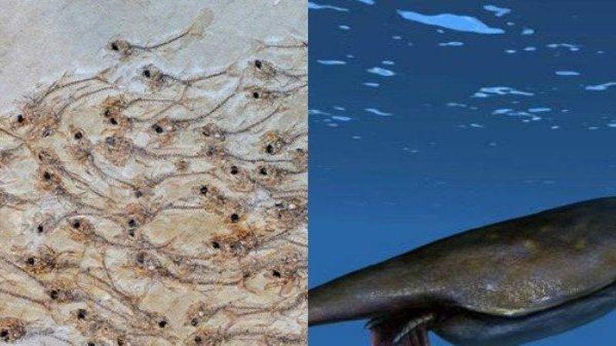 Đàn cá 50 triệu năm, tôm hùm to hơn người siêu quý hiếm lộ diện đầu tiên trên Trái Đất