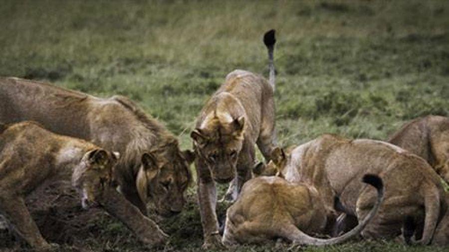 Sư tử hợp sức đào hang chén thịt cả ổ lợn rừng