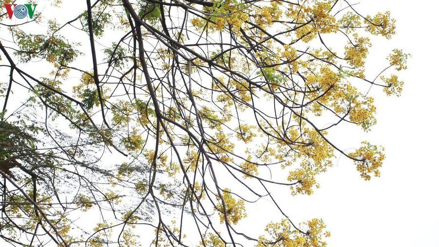 Mê mẩn ngắm hoa điệp thả dáng bên mặt hồ Hà Nội