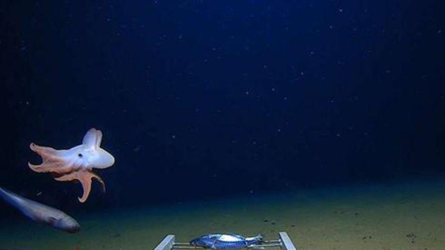 Những loài bạch tuộc kỳ lạ dưới đáy đại dương