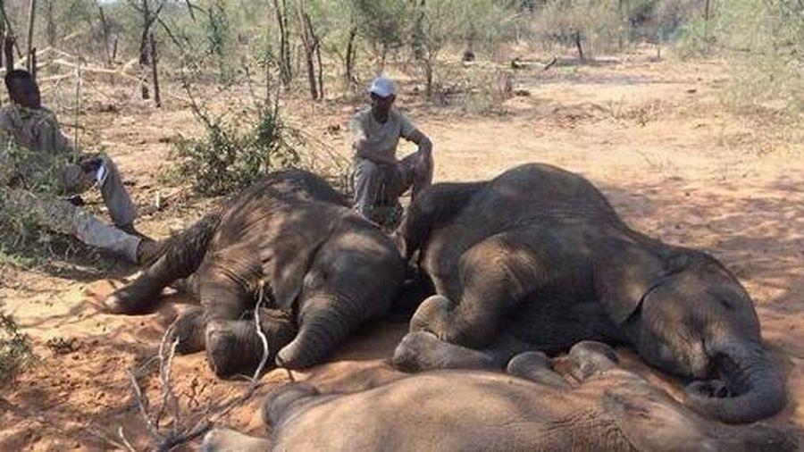 Voi Botswana chết liên tục: Chưa thấy dấu hiệu bệnh than hay ngộ độc