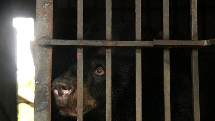 Giải cứu 2 cá thể gấu ngựa sau giãn cách xã hội