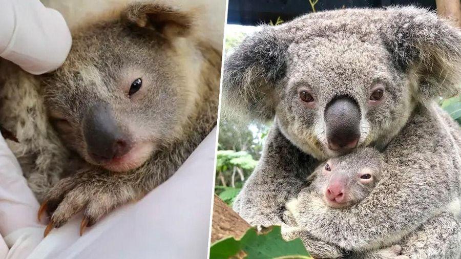 Gấu Koala đầu tiên sinh ra sau vụ cháy rừng thảm khốc tại Australia