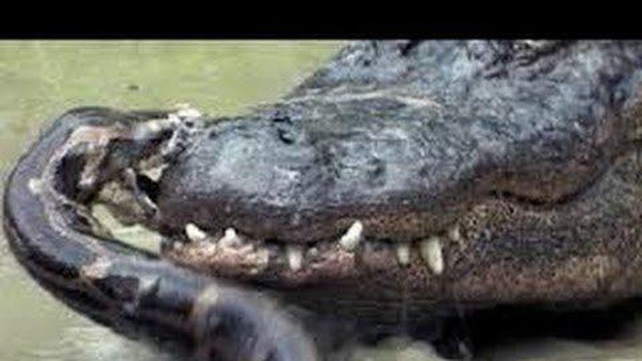Rắn hổ mang chúa mới sinh bỏ mạng dưới hàm cá sấu non