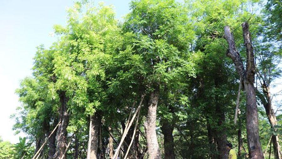 80% cây xanh đánh chuyển từ đường Kim Mã về vườn ươm Đa Tốn sinh trưởng tốt