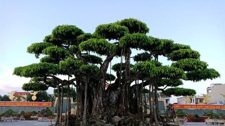 'Choáng váng' những cây sanh cổ giá triệu đô hút đại gia