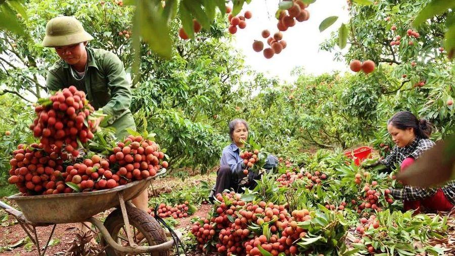 Bộ Công Thương đề xuất giám sát xuất khẩu vải thiều gây hiểu nhầm, trái thông lệ quốc tế