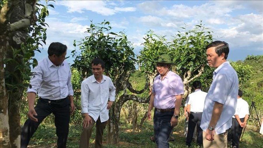 Chế phẩm sinh học diệt mối cho cây chè cổ thụ Shan tuyết Suối Giàng