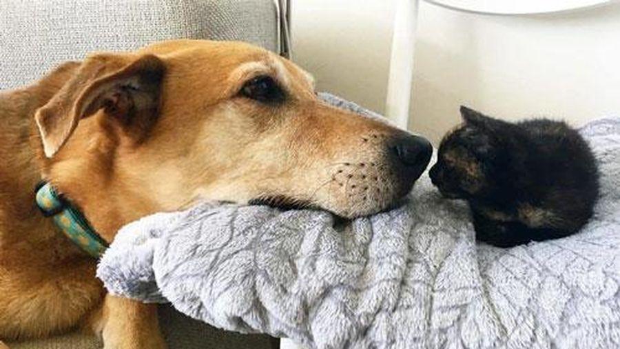 'Tan chảy' trước hình ảnh chó làm 'bảo mẫu', che chở và chăm sóc cho mèo con