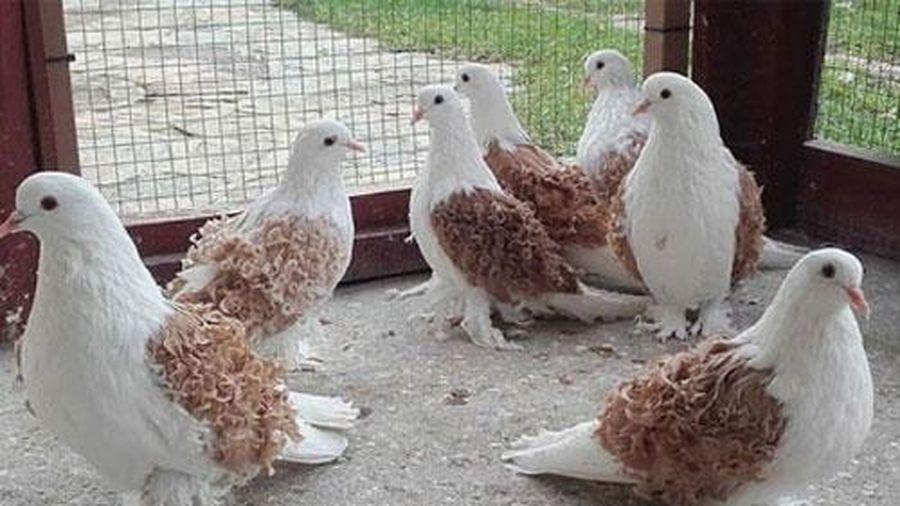 Hóa ra trên đời có lắm loài bồ câu đẹp đến thế