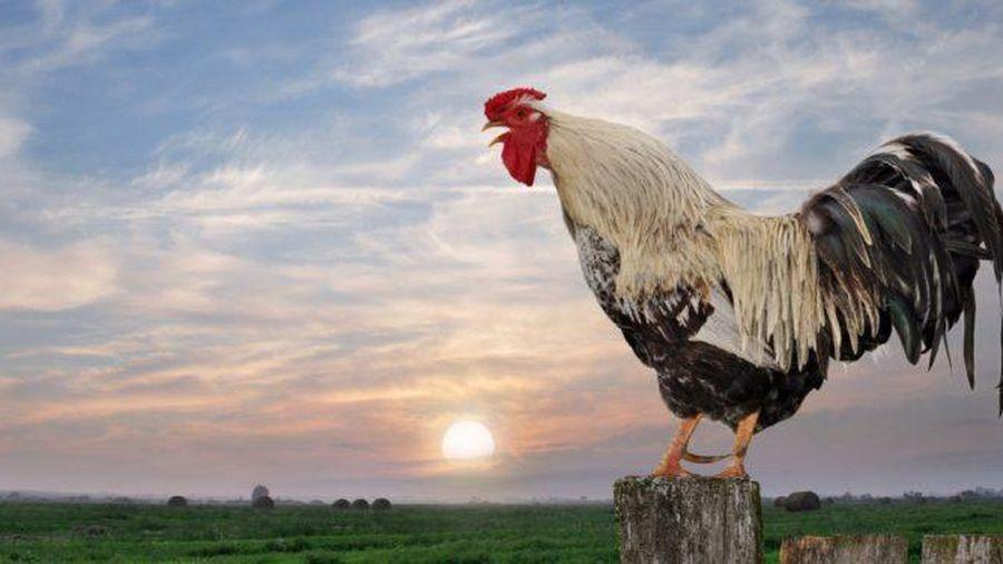 'Ngứa mắt' vì đàn bò đang ăn cỏ, gà trống lao vào 'cà khịa'