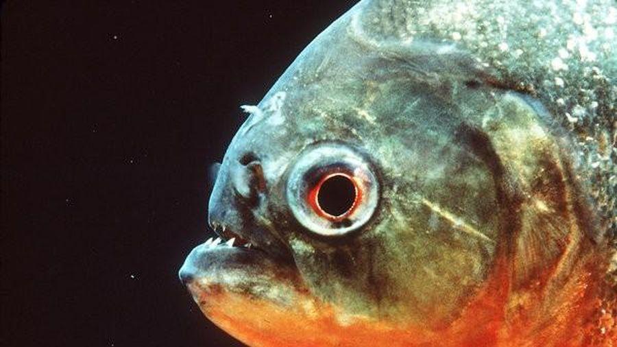 1001 thắc mắc: Loài cá nào biết 'sủa'?