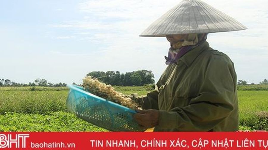 Trồng hành tăm, nông dân Nghi Xuân thu gấp 7 lần trồng lúa