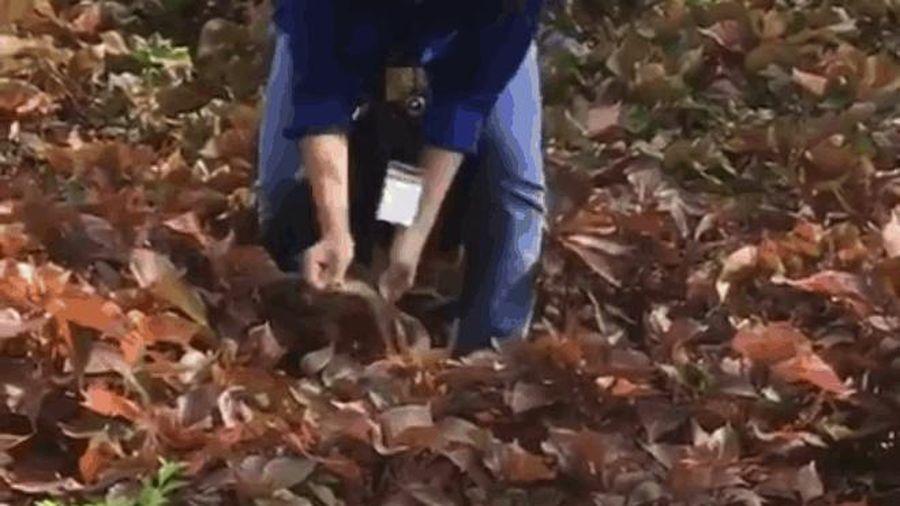 CLIP: Nữ sinh tay không bắt rắn trong vườn trường khiến các bạn nam hú hét 'bái phục'