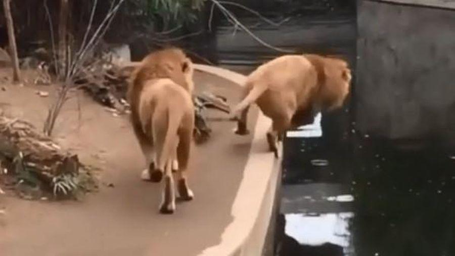 Bật cười khoảnh khắc chúa sơn lâm vụng về trượt chân ngã xuống hồ