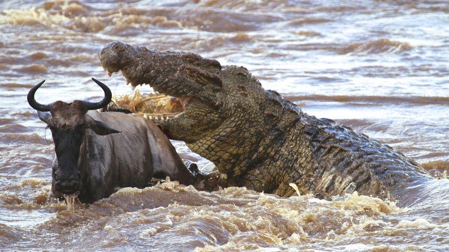 300 con cá sấu tấn công đàn linh dương đầu bò