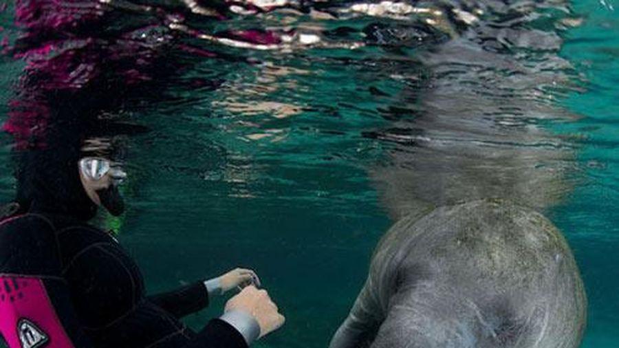 Ảnh đẹp: Lợn biển ôm chân thợ lặn