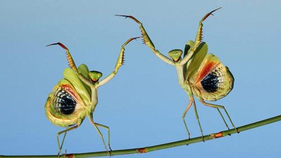 Ảnh đẹp: Cặp bọ ngựa 'khiêu vũ' trên thân cây