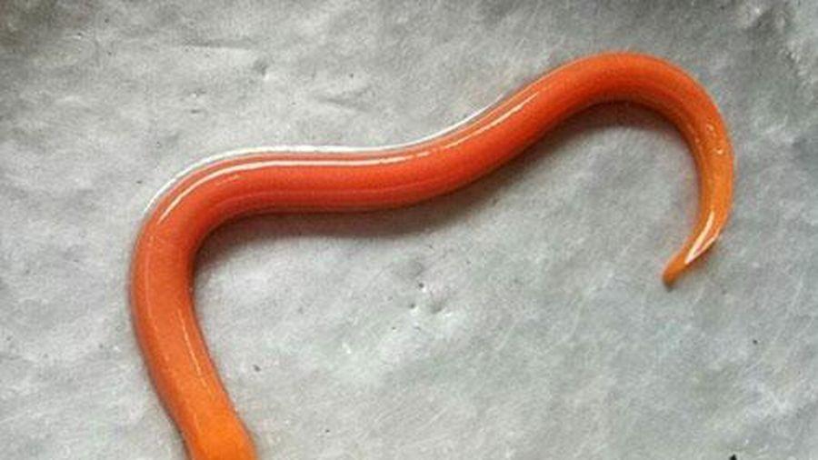 Lươn vàng - Vị thuốc tăng cường trí nhớ