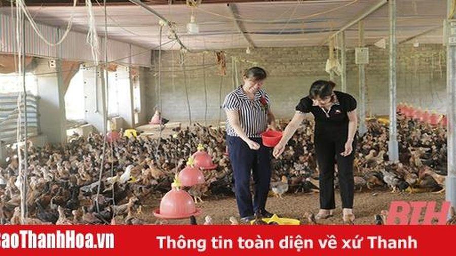 Hiệu quả tổ liên kết chăn nuôi gà theo chuỗi ở xã Cẩm Tâm