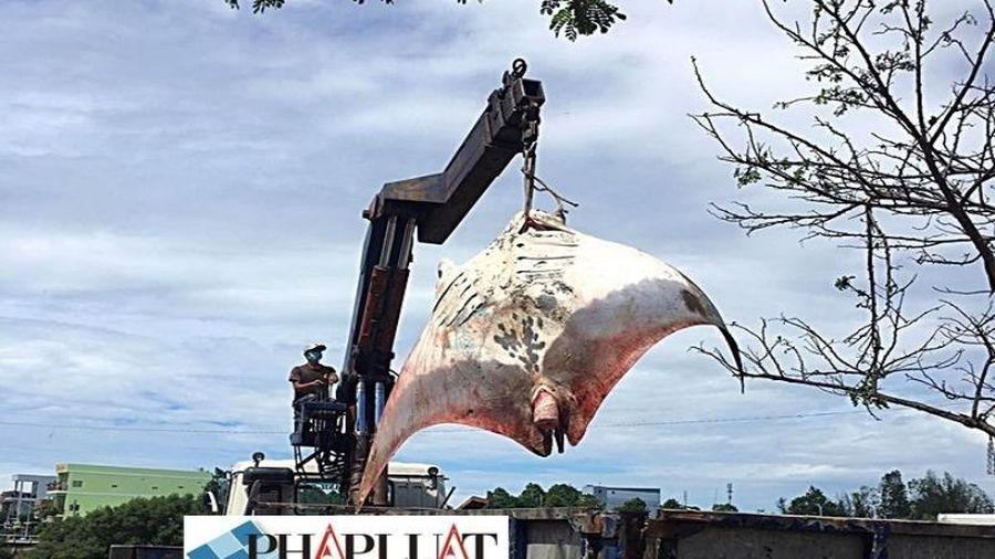 Người dân từ chối mua cá đuối khủng gần 800 kg do tâm linh