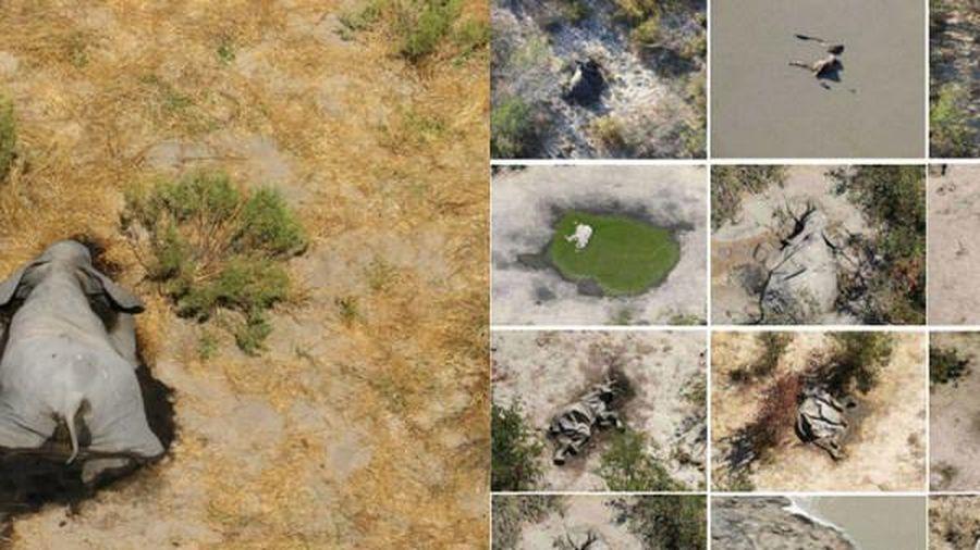 Hàng trăm con voi chết bí ẩn quanh hồ nước tại Botswana