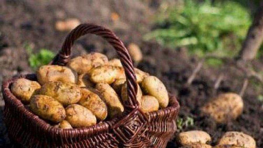 CLIP: Cách trồng khoai tây trong chậu tại nhà cho ra nhiều củ