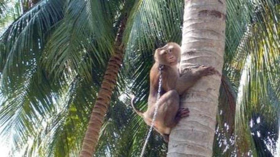 Một loạt siêu thị từ chối sản phẩm từ dừa do khỉ hái lượm ở Thái Lan