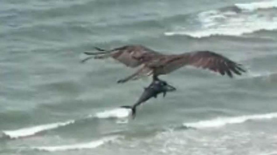 Chim săn mồi tha cá mập còn sống trên bãi biển ở Mỹ