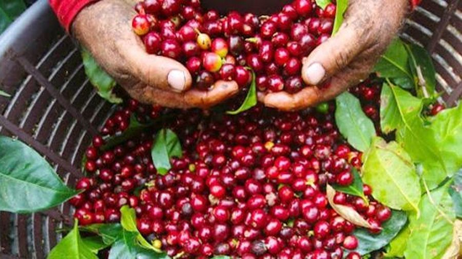 Giá cà phê hôm nay 4/7: Tiếp tục đi ngang, dao động từ 30.900 - 31.800 đồng/kg