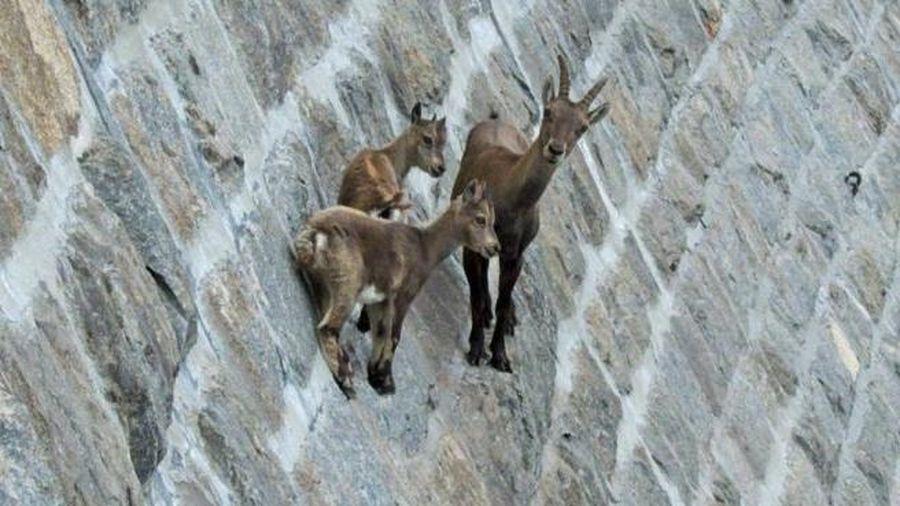 Dê Ibex - 'nhà leo núi' đặc biệt