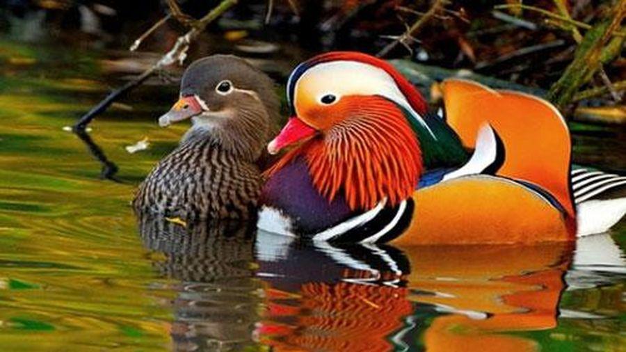 Loài vịt đẹp từ ngoại hình đến tên, lúc nào cũng có đôi có cặp lại còn luôn một lòng một dạ với nhau khiến con người phải ghen tị