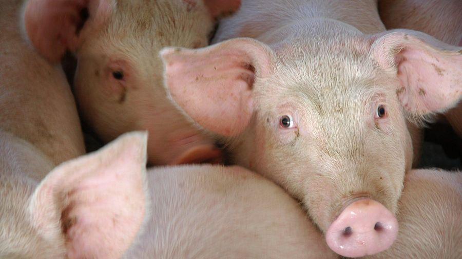 Nhiều đại gia kinh doanh thịt lợn báo lãi lớn