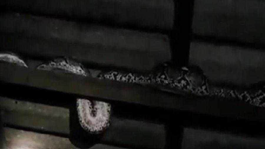 Trăn 'khủng' dài hơn 5m nuốt chửng 3 con mèo