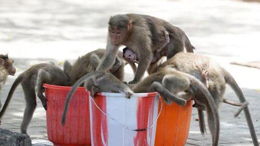 Ấn Độ nóng 50 độ C, khỉ cắn giết nhau tranh giành nước uống