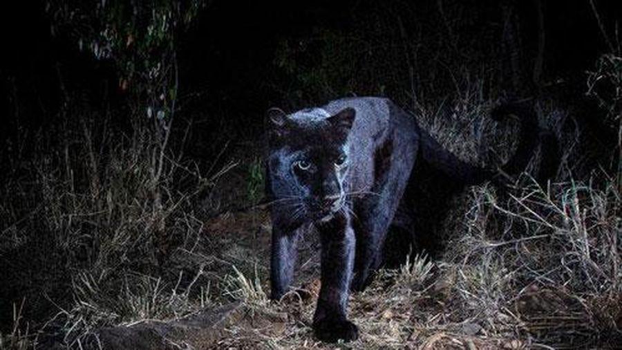 Phát hiện loài báo đen 'trăm năm có một' tại châu Phi