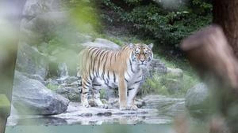 Hổ vồ chết nhân viên sở thú trước sự kinh hãi của du khách
