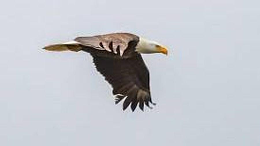 Đại bàng đầu trắng tấn công con mồi từ độ cao 3.000m