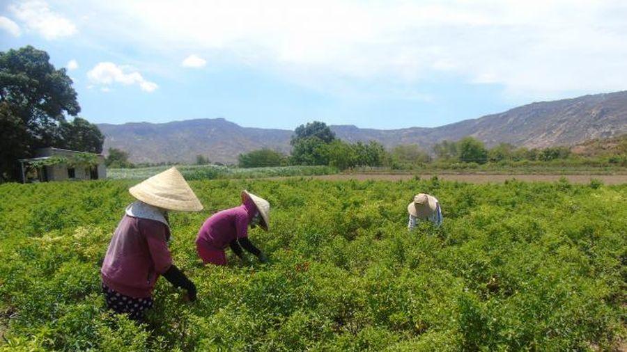 Ninh Thuận điều chỉnh sản xuất vụ hè thu