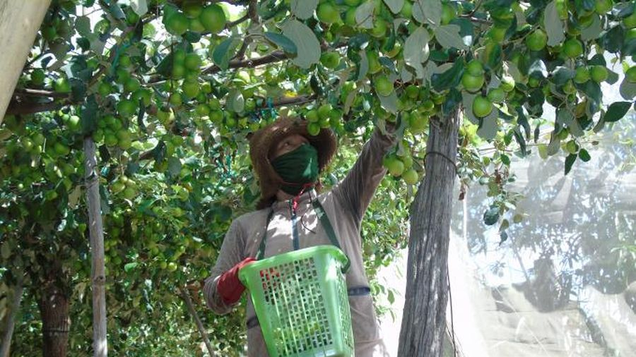 Ninh Thuận: Ứng dụng kỹ thuật bao lưới chống ruồi vàng cho vườn táo